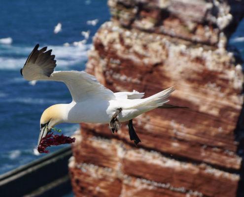 Helgoland Basstoelpel
